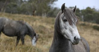 Mulga Bill's Bicycle points the way for Snowy Mountain's Brumby management