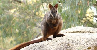 ACT Government and Zoos Victoria announce joint project to save critically endangered Brush-tailed Rock-wallaby