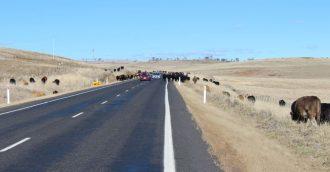 "500 cattle grazing the Monaro Highway ""long paddock"""