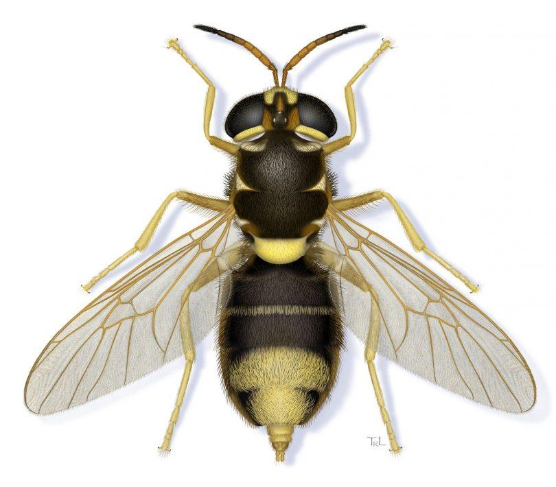 <em>Apisomya bathae</em>