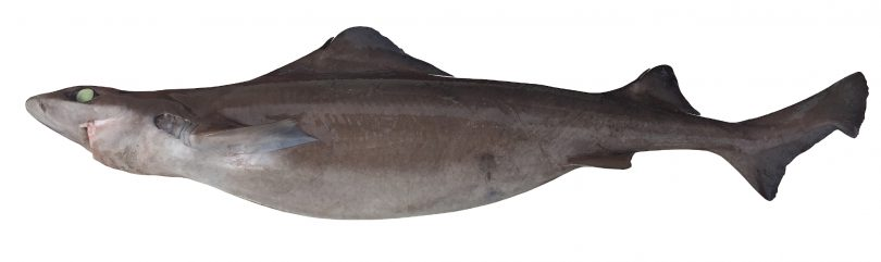 "<span class=""sl-grid-filename"">Longfin Gulper Shark</span>"