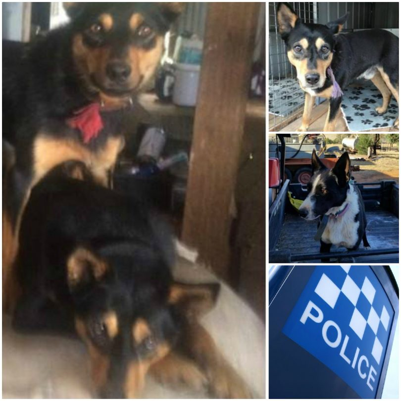 The four dogs stolen over the last three weeks. Photos: NSW Police/IanCampbell