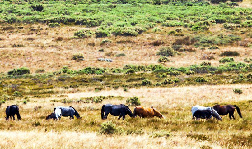 Feral horses grazing.