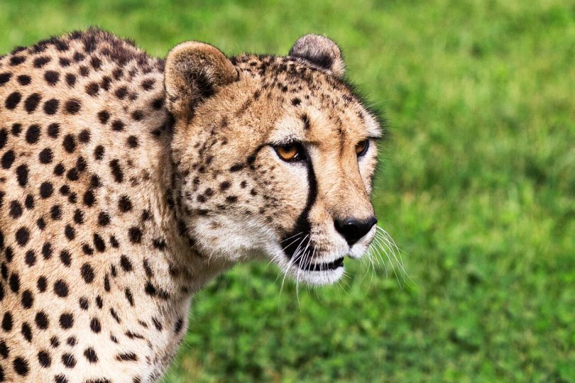 The Meet a Cheetah program has been popular at the zoo. Photo: Supplied