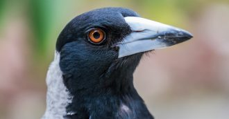 Magpie swooping season commences as warm weather approaches