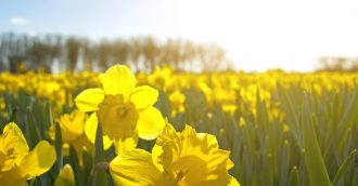 Daffodil Day in full bloom with thousands of flowers to be sold in Cancer Council's fundraiser