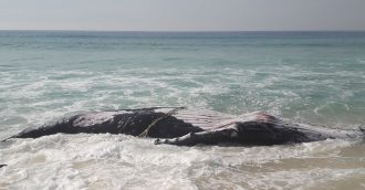 Ugly intersection between man and nature claims whale south of Pambula