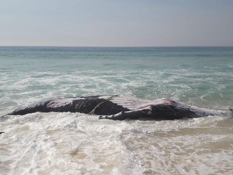 A juvenile Humpback Whale has washed ashore dead on Long Beach between Pambula and Eden. Photo: Janaya Chalker NPWS.