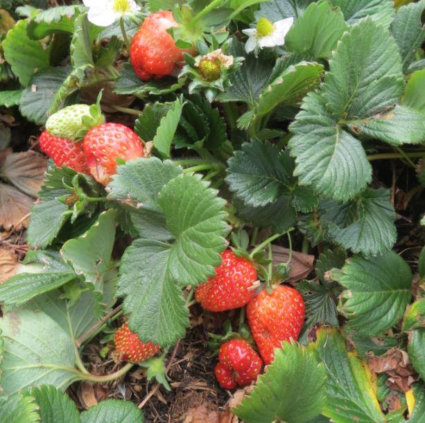 Growing your own strawberries is easy. Photos: Kathleen McCann.