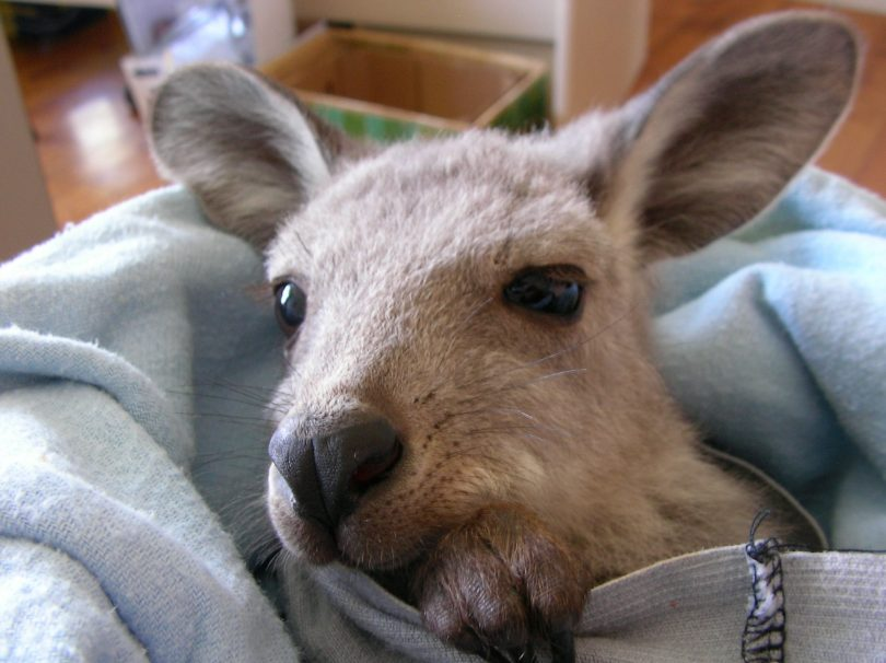 the ACT is seeing record numbers of wildlife, particularly kangaroos and wombats, ending up as roadkill but with joeys surviving.