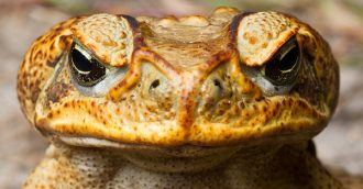 Locals asked to be on the lookout after two poisonous cane toads found in Canberra
