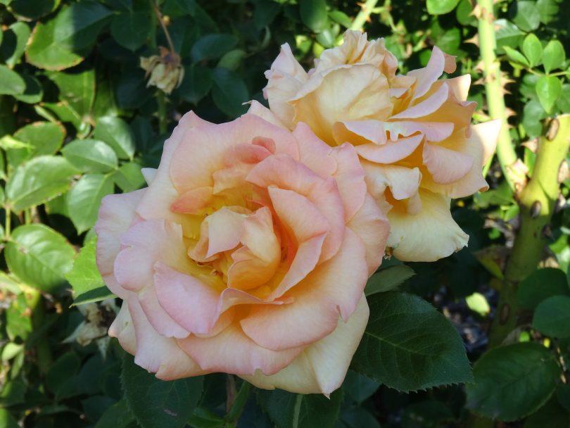 City of Goulburn Rose