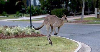 Would you eat a Canberra kangaroo?