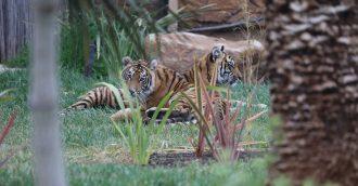 Meet new tiger cub sisters Melati and Mya at the National Zoo   Aquarium