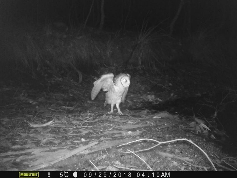 Conservationists claim night cameras detected an endangered Masked Owl within Corunna State Forest. Photo: Corunna Forest Facebook.
