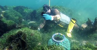 Pambula sea urchin business taking local reefs from barren to balanced