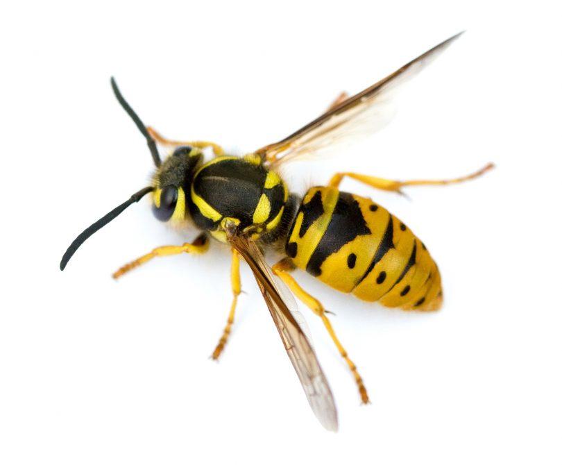 A European wasp has very distinctive markings