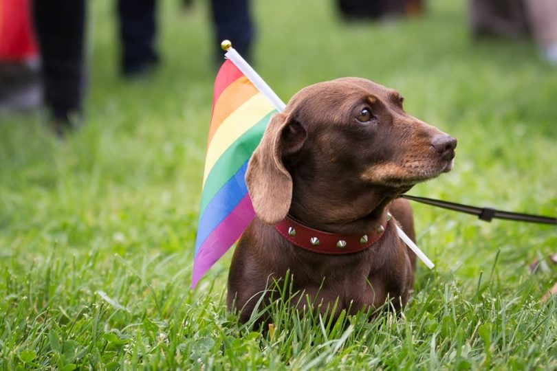dog in rainbow pet parade