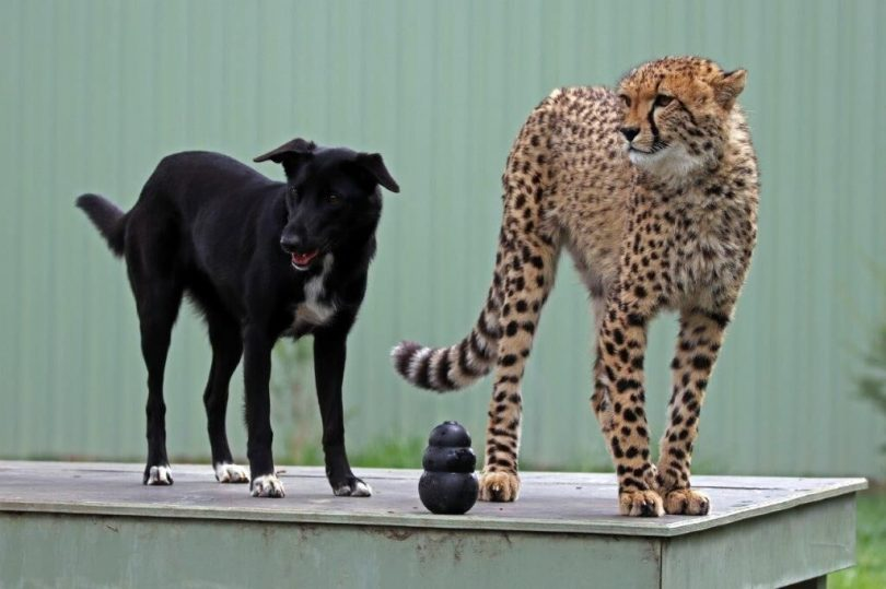 Canberra Story Of A Cheetah And His Doggie Best Friend Turns A Page As They Reach One The Riotact