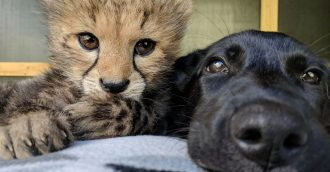 Canberra story of a cheetah and his doggie best friend turns a page as they reach one
