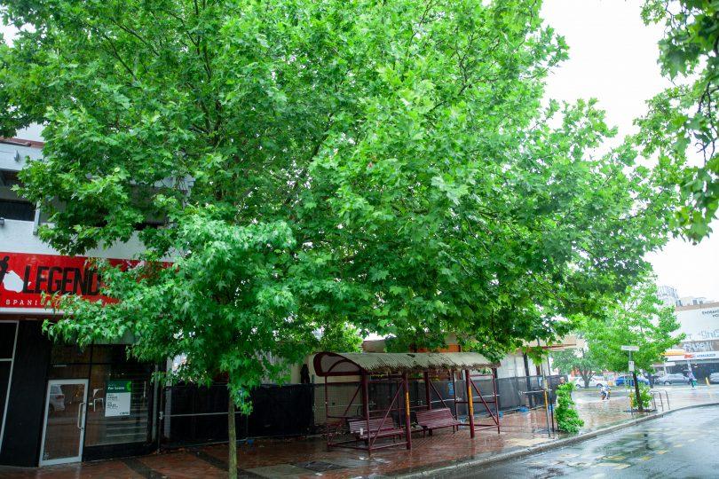 Tree in Manuka