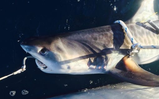 NSW shark management strategy heads south to Bega Valley beaches