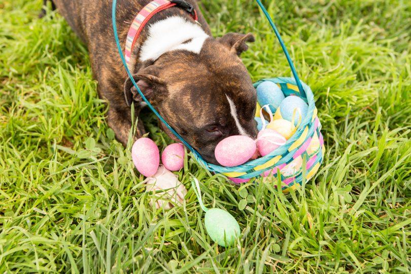 dog in easter basket