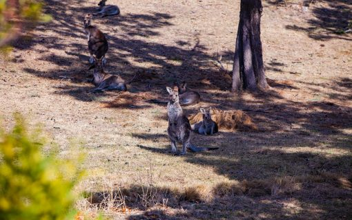 More than 4000 kangaroos killed in biggest cull ever
