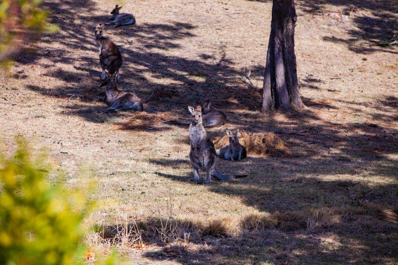 kangaroo cull