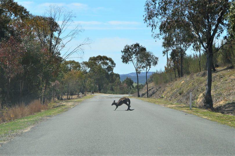 Kangaroo crossing the road near Tidbinbilla