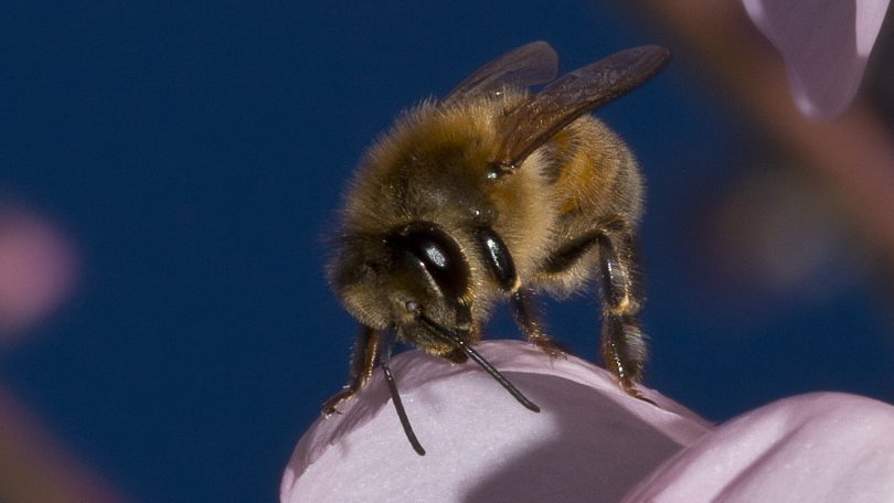 Close-up of a bee.