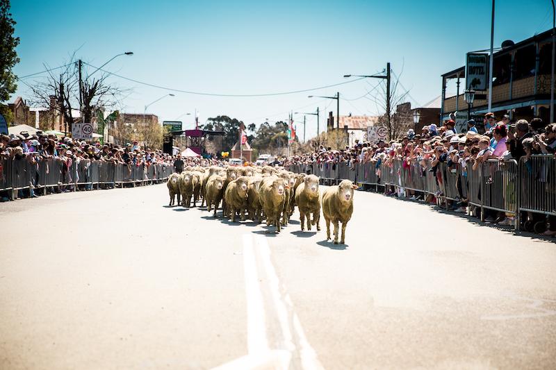 Running of the Sheep.