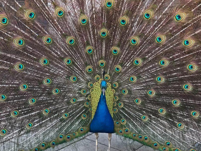 local peacock