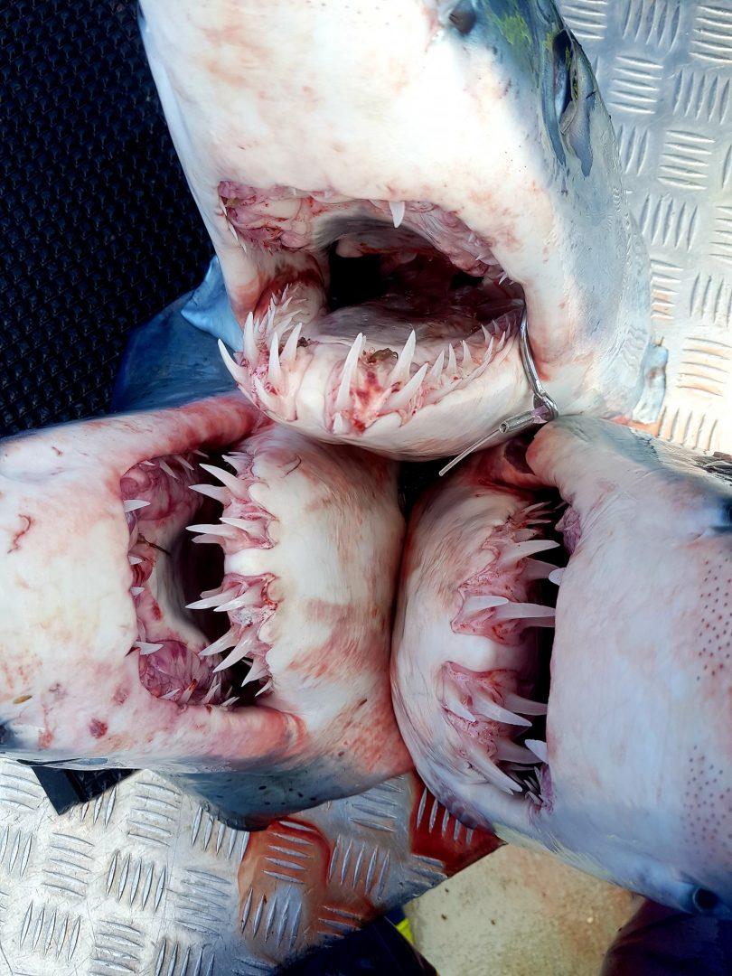 Three Mako sharks