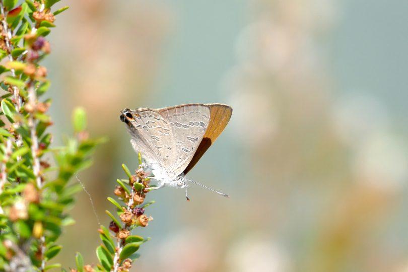 Butterflies Australia Project