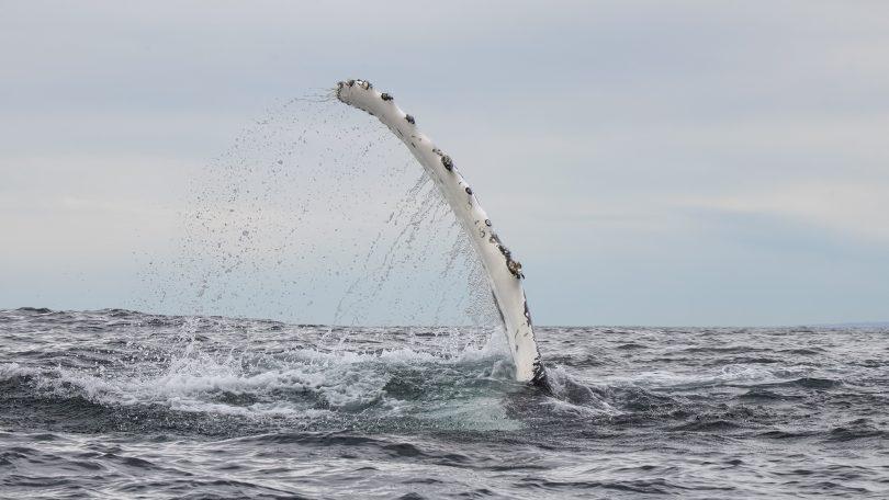 A whale's pectoral fin