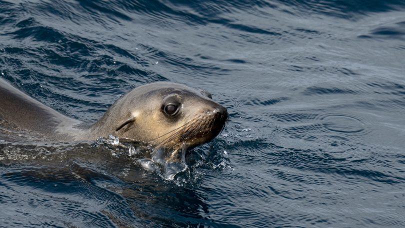 An Australian Fur Seal