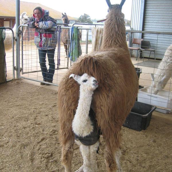 A nuzzling alpaca