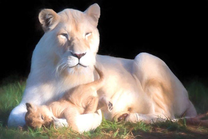 Snow and co, Mogo's famous white lion