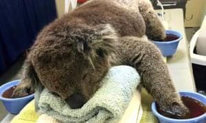 Recovering koala