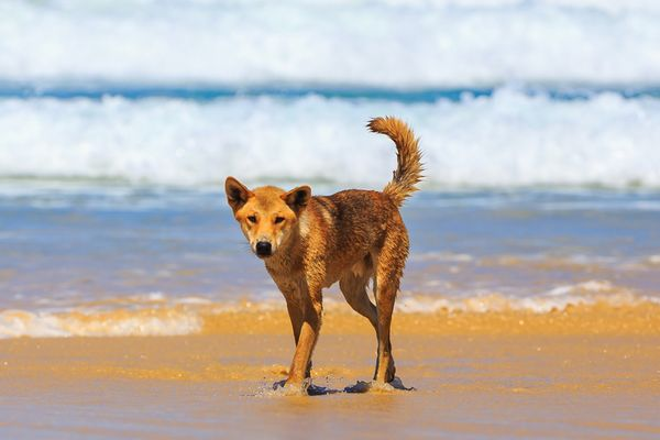 Dingo on Fraser Island