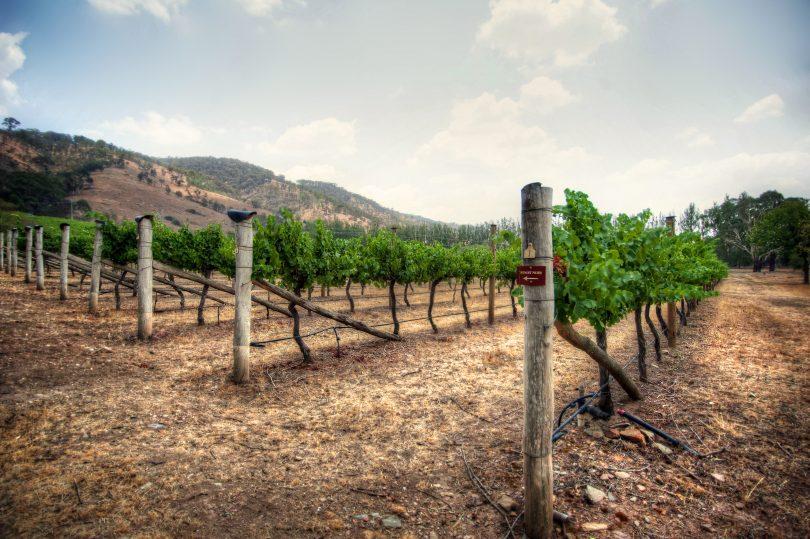 Vines at Lerida Estate