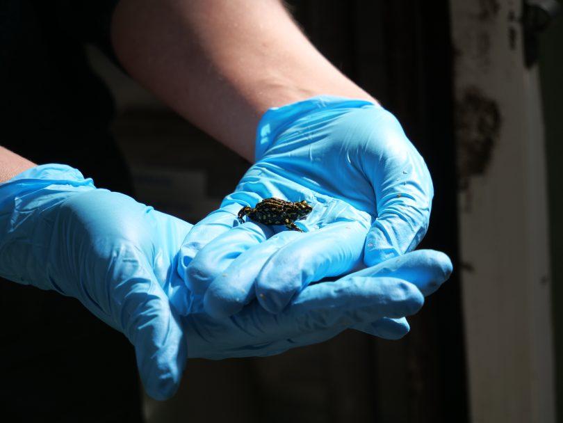 Corroboree frogs