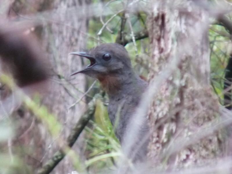 The male lyrebird