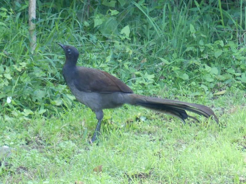 The female lyrebird