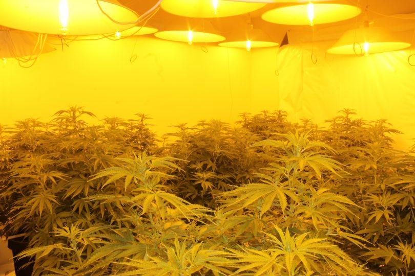 Cannabis growing hydroponically.