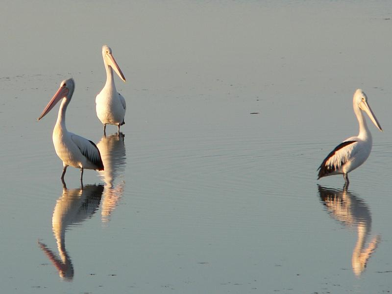 Three pelicans standing in water