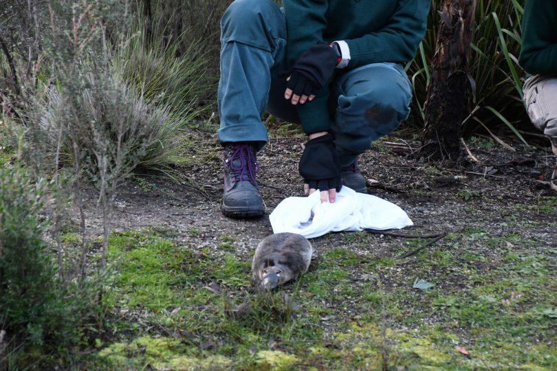 A playtpus returns to its natural habitat