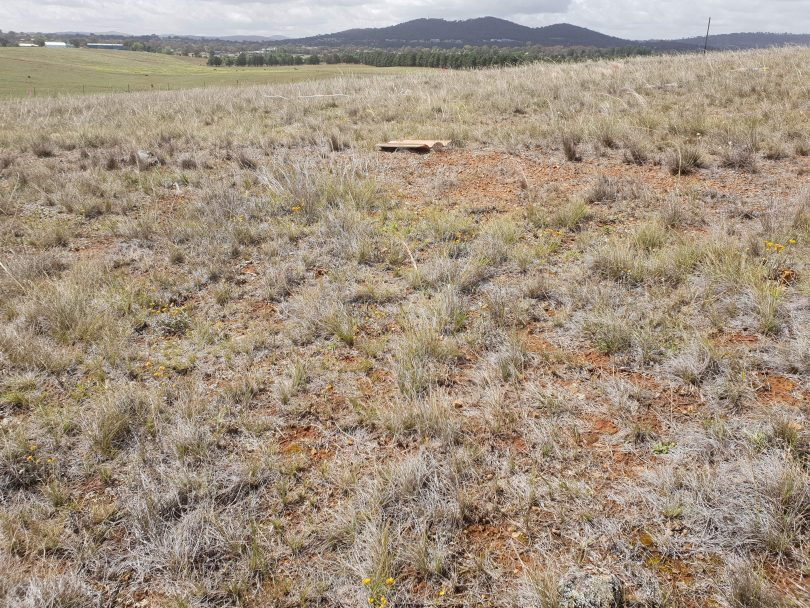 Natural Temperate Grassland in the ACT.