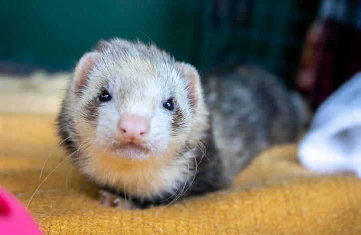 """Nibbles"" the ferret."